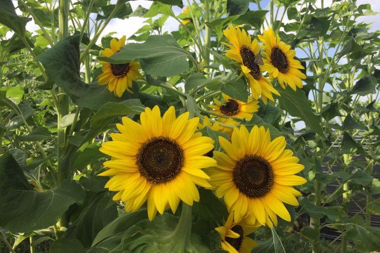 Ilustrasi bunga matahari.