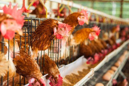 Infeksi Virus Corona Makin Meluas, Sekarang China Diserang Flu Burung