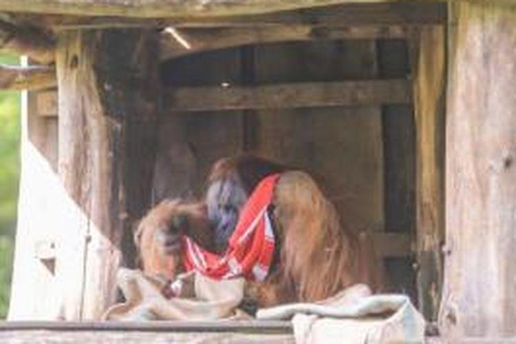 Seekor orangutan di kebun binatang Dortmund sebelum menentukan pilihannya atas jersey Dortmund dan Bayern Muenchen. Hal tersebut dimaksudkan untuk menentukan siapa pemenang Liga Champions musim 2012-13.