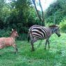 Inilah Zonkey, Hasil Kawin Silang antara Zebra dengan Keledai