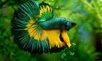Ini Penyebab Ikan Cupang Berenang Tidak Menentu Arah