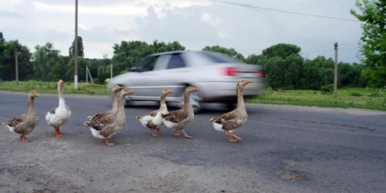 Bebek menyeberang jalan.