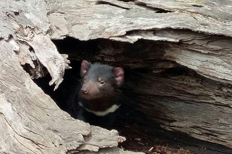 Tasmanian devil, hewan khas Tasmania yang terancam punah.