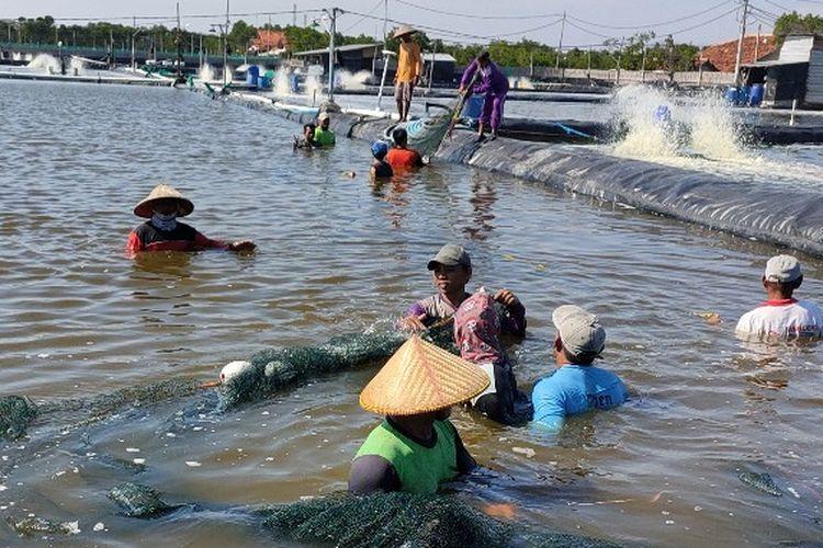 Sejumlah petani tambak di Kelurahan Muarareja, Tegal Barat, Kota Tegal, Jawa Tengah menjaring sisa udang vanamei yang hanyut diterjang banjir rob, Kamis (4/6/2020)