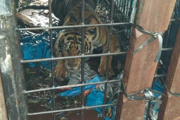 Harimau sumatera yang diduga kerap memangsa manusia di kawasan PT RIA di Desa Tanjung Simpang, Kecamatan Pelangiran, Kabupaten Inhil, Riau, berhasil dievakuasi oleh petugas BBKSDA Riau bersama kepolisian, TNI, dan BPBD Inhil, Sabtu (2/5/2020).