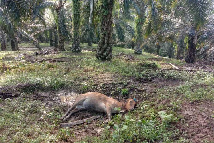 Satu dari 5 lembu yang mati dimangsa harimau pada Senin (11/1/2021) pagi. Total dari pertengahan Desember hingga awal tahun ini sudah 11 ekor lembu dimangsa harimau.