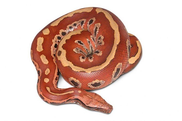 Sanca darah (Python brongersmai)