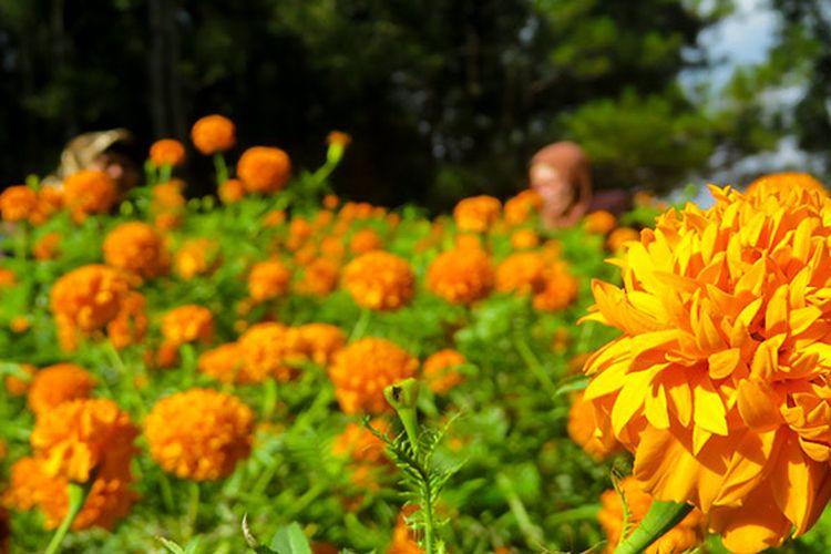 Taman bunga di Hutan Pinus Mangunan