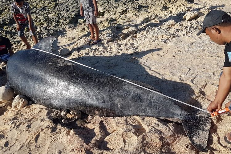 A dead pilot whale gets measured after it is beached in East Nusa Tenggara [NTT] province