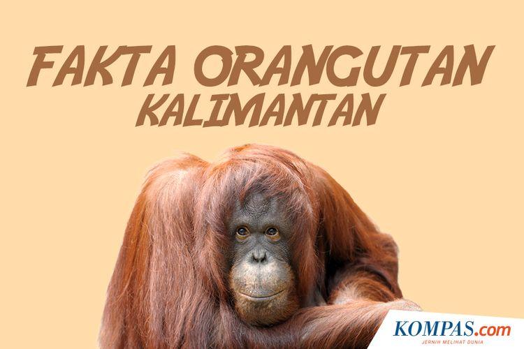 Fakta Orangutan Kalimantan