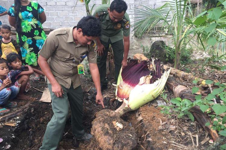 Bunga bangkai (Amorphephallus titanum) sudah dalam kondisi rusak saat tim dari BBKSDA Sumut tiba di Dusun Pulo Godan, Desa Silumajang, Kecamatan NA IX-X, Labuhanbatu Utara, Senin (7/9/2020). Bunga tersebut diketahui dibeli oleh warga di dusun tersebut dari seseorang Rp 150.000, foto-fotonya viral di media sosial.