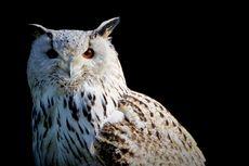 Serba-serbi Hewan: Suara Burung Hantu Punya Banyak Makna