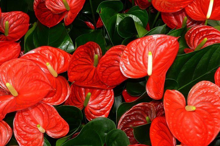 Ilustrasi tanaman hias Anthurium.