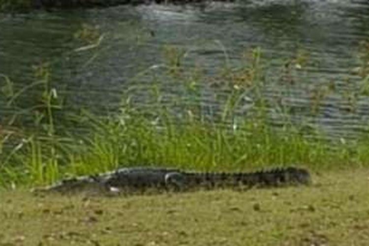 Buaya ini kerap menampakkan diri di danau lapangan golf di Queensland, Australia.