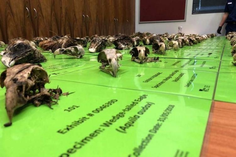 Staf peternakan di Victoria, Selandia Baru, membunuh 406 burung elang ekor baji yang dilindungi. (ABC/Nicole Asher)