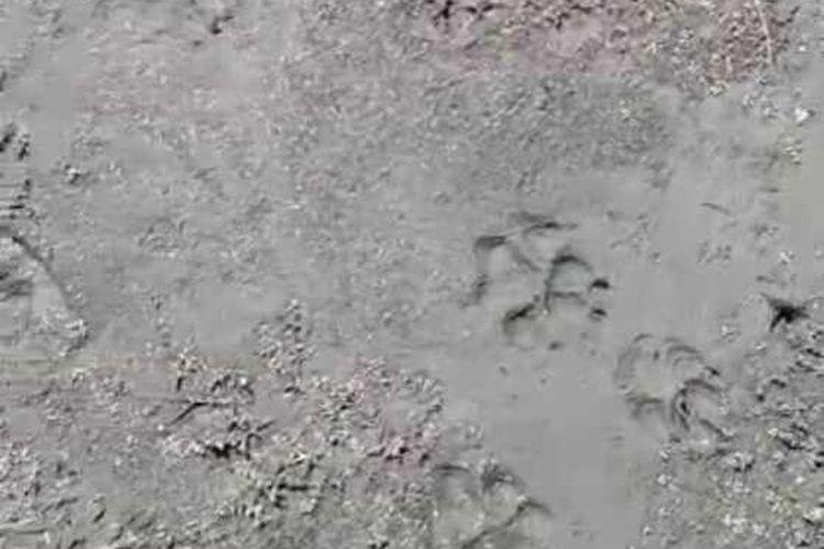 Tangkapan layar jejak hewan liar di Ranu Kumbolo yang diambil video oleh Komunitas Gimbal Alas Indonesia.