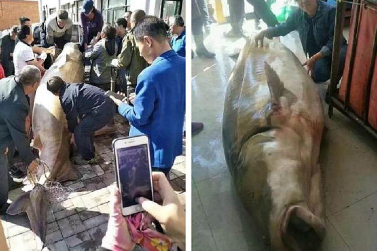 Ikan yang berukuran besar ini diyakini berusia setidaknya 100 tahun.