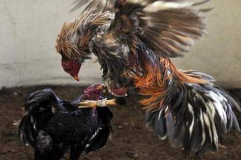 Polisi Gerebek Jaringan Sabung Ayam Terbesar di New York