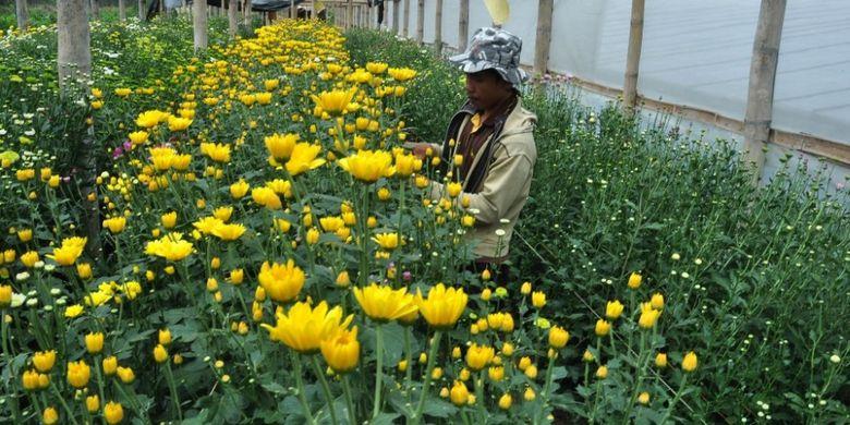 Seorang petani tengah menyiangi tanaman bunga krisan Dusun Clapar, Desa Duren, Kacamatan Bandungan, Kabupaten Semarang.