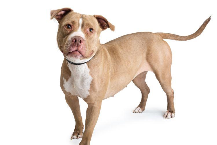 Ilustrasi seekor anjing pit bull.