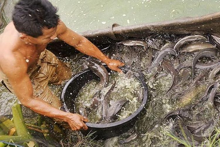 Ilustrasi peternak ikan lele