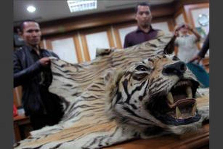 Petugas memperlihatkan salah satu dari dua kulit harimau sumatera di Kantor Kementerian Kehutanan, Jakarta Pusat, Rabu (16/8/2012). Kulit satwa yang terancam punah tersebut disita dari pedagang yang melakukan transaksi perdagangan barang tersebut di Cilandak, Jakarta Selatan.