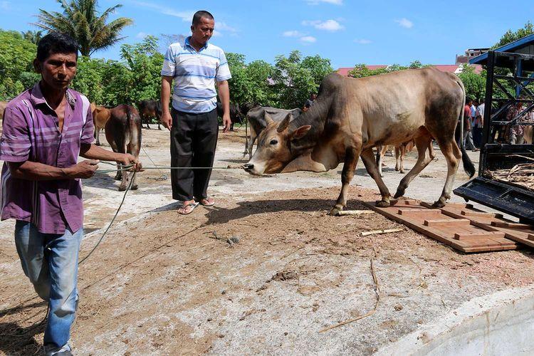 Hewan kurban dijual di Pasar Hewan Cot Iri, Kecamatan Krueng Barona Jaya, Kabupaten Aceh Besar, Sabtu (25/7/2020). Menjelang Hari Raya Idul Adha 1441 Hijriah, permintaan hewan kurban baik sapi dan kambing menurun diduga akibat pandemi Covid-19.