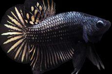 Kenalan dengan Ikan Cupang Berwarna Hitam, Tak Kalah Cantik