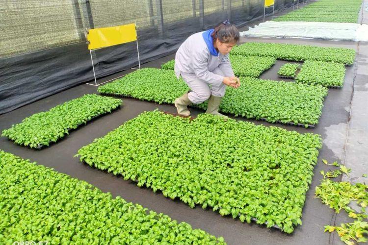 Sebanyak 25.000 potong bunga krisan asal Kabupaten Karo menembus pasar Jepang untuk pertama kalinya. Balai Karantina Pertanian Belawan siap mengawal petani dan eksportir bunga Krisan untuk memenuhi persyaratan sanitary and phytosanitary di perdagangan internasional.