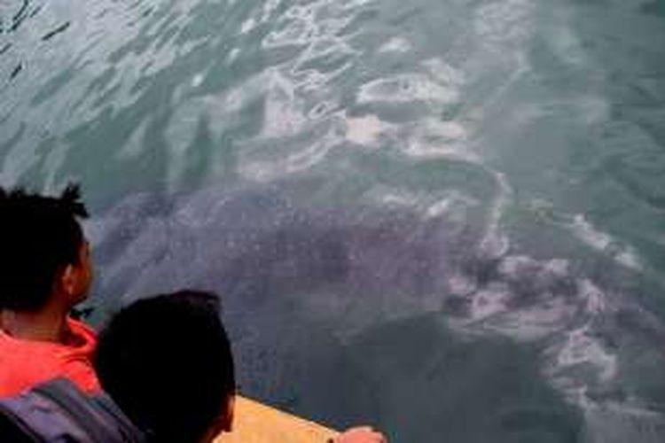 Seekor ikan hiu paus (Rhincodon typus) terjebak di dalam kawasan area perairan pelabuhan Pelni Murhum, Kota Baubau, Sulawesi Tenggara. Beberapa warga ikut melihat penampakan ikan hiu di dalam area pelabuhan