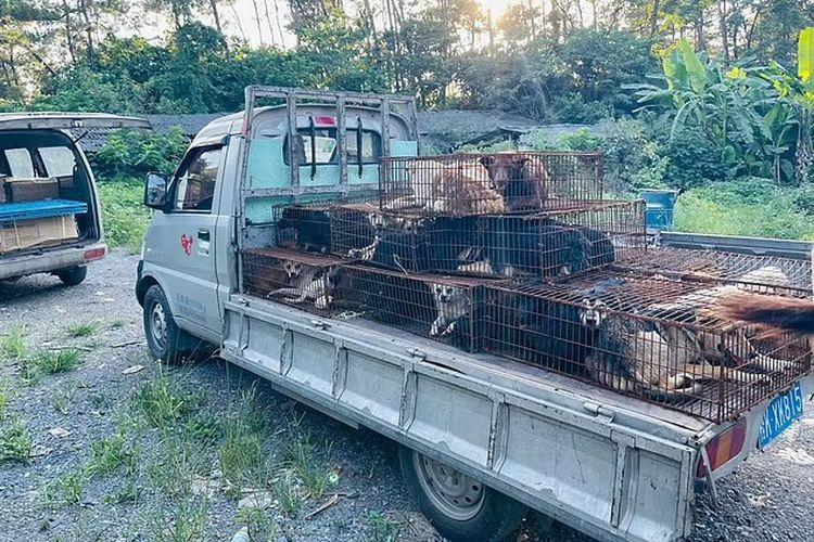 Sejumlah anjing yang dikandangi di atas truk untuk dibawa ke Festival Daging Anjing Yulin, China. [Via Daily Mail]