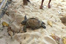 Dua Penyu Ukuran Besar Ditemukan Mati di Pantai Selatan