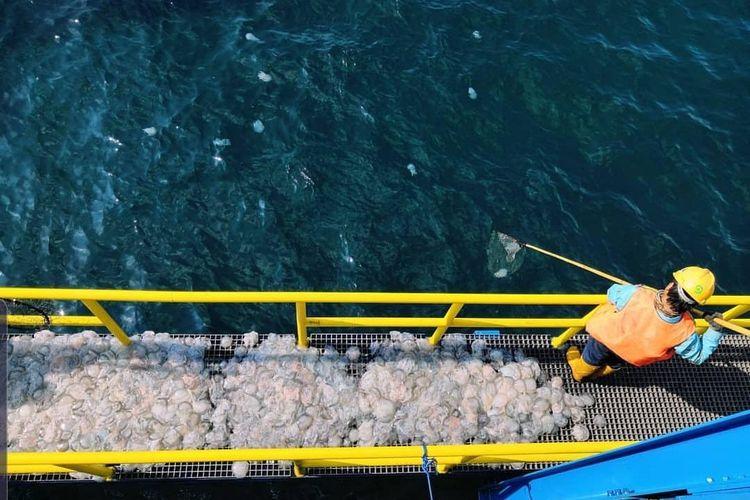 Petugas menjaring ubur-ubur di PLTU Paiton sebelum dilepas ke tengah laut.