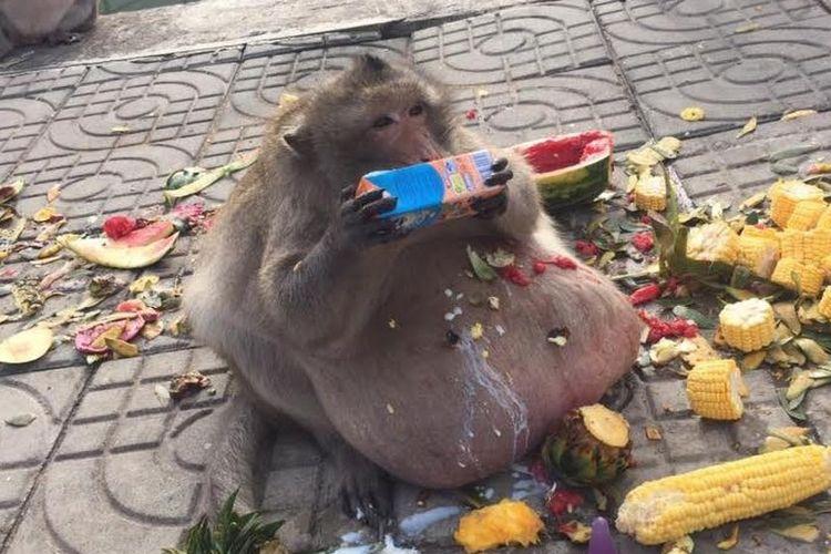 Paman Gembul, monyet obesitas di Thailand