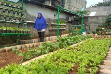 Menadah Rupiah dari Sayur Organik di Lahan Bekas Sampah