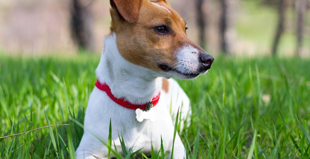 Ilustrasi anjing jenis Jack Russell Terrier.