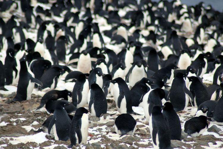 Koloni penguin Adelie yang baru ditemukan di Kepulauan Danger