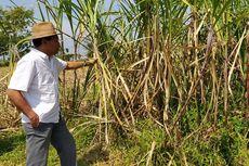 Mimpi Petani di Tengah Anjloknya Harga Tebu