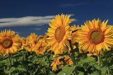 Cara Menanam dan Merawat Bunga Matahari di Media Pot