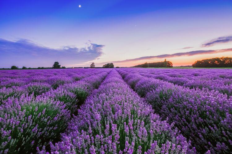 Pemandangan ladang lavender di Provence, Perancis.