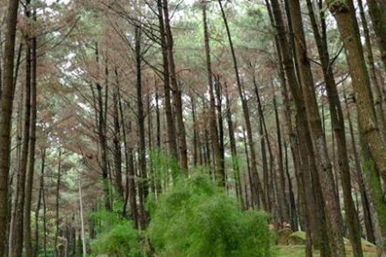 Suasana hutan pinus Gunung Pancar, Babakan Madang, Kabupaten Bogor, Rabu (13/4/2016). Di kawasan wisata alam Gunung Pancar, pengunjung bisa menikmati pemandangan hutan dan pemandian air panas.