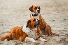 Kamasutra Satwa: Kibaskan Ekornya ke Samping, Tanda Anjing Betina Siap Kawin
