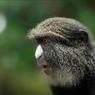 Saling Jaga di Dunia Hewan, Monyet Betina Peringatkan Jantan Saat Ada Predator
