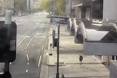 Australia Lockdown, Kanguru Lompat-lompat Jelajahi Kota