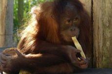 Kebun Binatang Melbourne Gelar Piknik untuk Orangutan