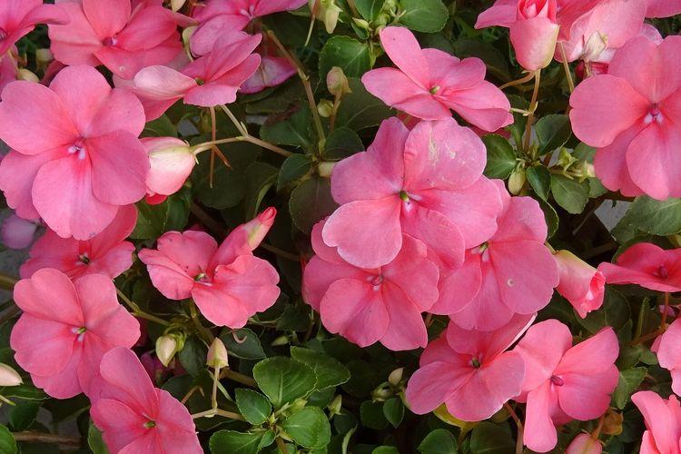 Ilustrasi bunga Impatiens walleriana.
