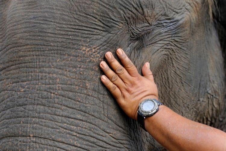 Aktivitas gajah di Pusat Konservasi Gajah Taman Nasional Way Kambas (TNWK), Kabupaten Lampung Timur, Lampung, Senin (20/3/2017). Gajah-gajah di TNWK telah jinak dan sudah dilatih untuk membantu manusia. Salah satu kontribusi gajah-gajah ini adalah membantu mendamaikan jika terjadi konflik manusia dengan gajah-gajah liar.