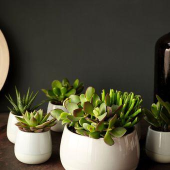 Ide penempatan tanaman hias sukulen dengan pot keramik mungil.
