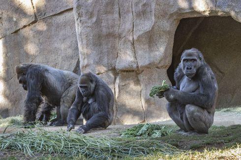 Kera Besar di Kebun Binatang AS Dapat Vaksin Covid-19 Eksperimen