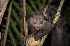 Serba serbi Hewan: Ini Aye-aye, Primata Teraneh yang Punya 2 Jempol